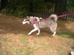 Mika at the annual SPCA wiggle waggle walk